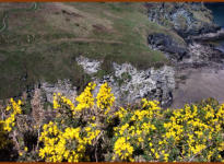 Gorse and Elephant Rock